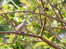 Zebra dove on a tree Royalty Free Stock Photo