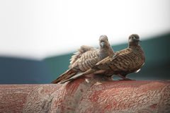 Zebra dove Royalty Free Stock Image