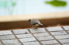 Zebra dove walking Stock Photography