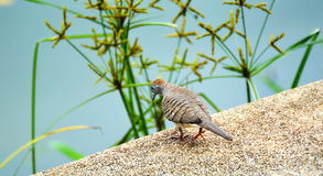 Zebra dove walking Stock Photo