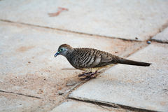 Zebra dove walking Royalty Free Stock Image