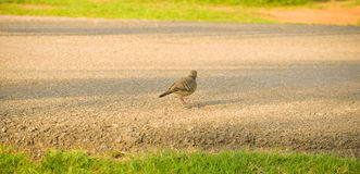 Zebra dove walking Stock Photos