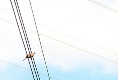 Zebra dove on a wire Stock Photography