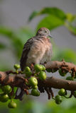 Zebra Dove. A young Zebra Dove standing on the fig tree stock photo