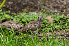 Zebra Doves. Alert Peaceful (Zebra) Doves looking at photographer Royalty Free Stock Photos