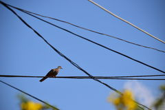 Zebra doves  resting on electric cable Stock Photography