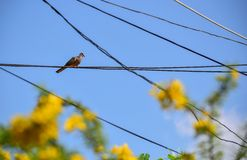 Zebra doves  resting on electric cable Stock Photos
