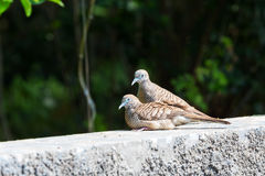 Zebra doves resting on wall Stock Image