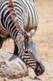Zebra Drapa jego twarz Obrazy Royalty Free