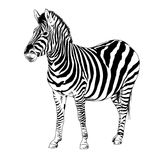 Zebra drawn with ink and hand-colored pop art vector royalty free stock image
