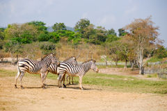 Zebra drei Lizenzfreies Stockbild
