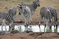 Zebra Drinking Royalty Free Stock Images