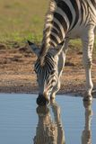Zebra Drinking. With reflection in the water Stock Photography
