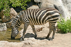 Zebra Drinking Royalty Free Stock Photography