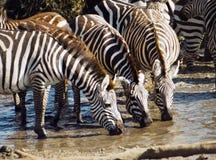 Zebra drinking stock images