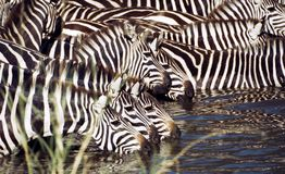 Zebra drinking royalty free stock image