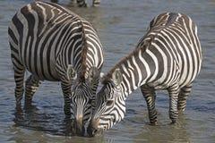 Zebra drinking. Stock Image