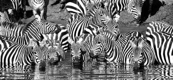 Zebra drinking black and white. Zebra having a drink in Serengeti National Park, Tanzania Royalty Free Stock Photography