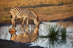 Zebra drinking Stock Photo