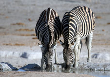 Zebra drinking at a desert waterhole. Two Burchells Zebra (Equus quagga burchellii) set against a blurred salt desert background, drinking at a waterhole in Royalty Free Stock Image