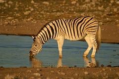 Zebra drinking, Etosha , Namibia Stock Images