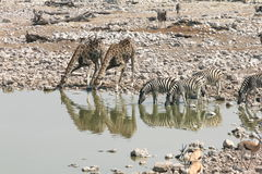 Zebra drinking With Giraffes in Namibia Stock Photography