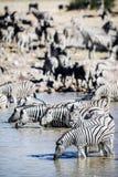 Zebra drinking Royalty Free Stock Image