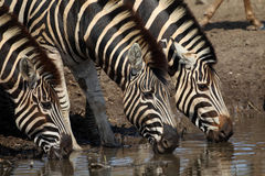 Zebra drinking  in Kruger National Park Stock Image