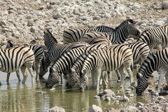 Zebra drinking in Namibia Royalty Free Stock Image