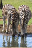Zebra Drinking Pair Royalty Free Stock Images