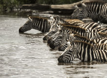 Zebra drinking in the river, Serengeti, Tanzania Stock Photography