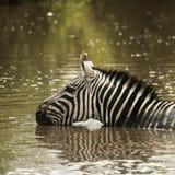 Zebra drinking in a river, Serengeti, Tanzania Royalty Free Stock Photo