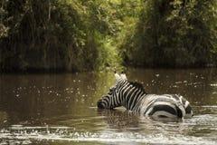 Zebra drinking in a river, Serengeti, Tanzania Stock Photography