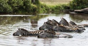 Zebra drinking in the river, Serengeti, Tanzania Royalty Free Stock Image