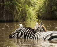 Zebra drinking in a river, Serengeti, Tanzania Royalty Free Stock Images