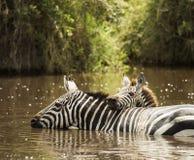 Zebra drinking in a river, Serengeti, Tanzania Royalty Free Stock Images