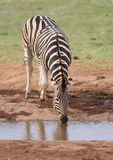 Zebra drinking water Royalty Free Stock Photo