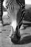 Zebra drinking water Royalty Free Stock Photography