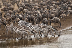 Zebra drinking water along the Mara river Royalty Free Stock Photography