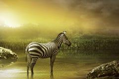 Zebra drinking water Stock Photography