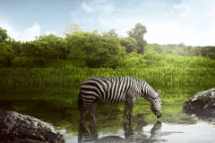 Zebra drinking water Royalty Free Stock Photos