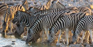 Zebra drinking at waterhole at Etosha National Park. Zebra drinking water at Etosha National Park stock photo