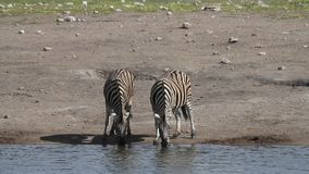 Zebra drinking at a water hole stock video footage