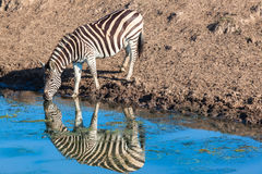 Zebra Water Mirror Reflections Stock Photography