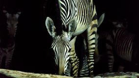 Zebra drinking water at night royalty free stock photos