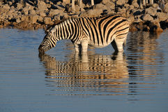 Zebra drinking water, Okaukeujo waterhole Stock Photography
