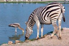 Zebra drinking water Stock Photo