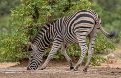 Zebra drinking water at a watering hole. One knee is bend as it is trying to reach the water Royalty Free Stock Images