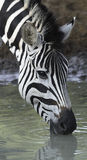 Zebra. Burchells Zebra drinking at the side of a waterhole Royalty Free Stock Image