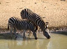Zebra drinking at waterhole Royalty Free Stock Image